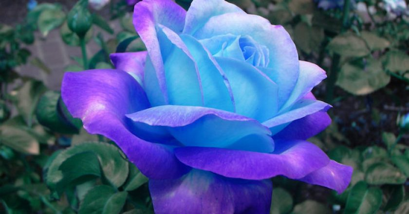 Las 10 rosas más bellas y populares del mundo