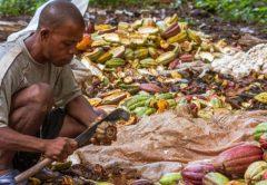El mercado del cacao, un juego donde solo ganan las multinacionales