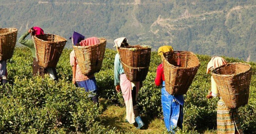 Los 10 países productores de té más grandes del mundo
