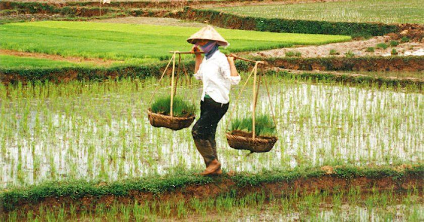 Los 10 países productores de arroz más grandes del mundo
