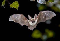 ¿Por qué los virus de los murciélagos (y los coronavirus) son tan mortales?