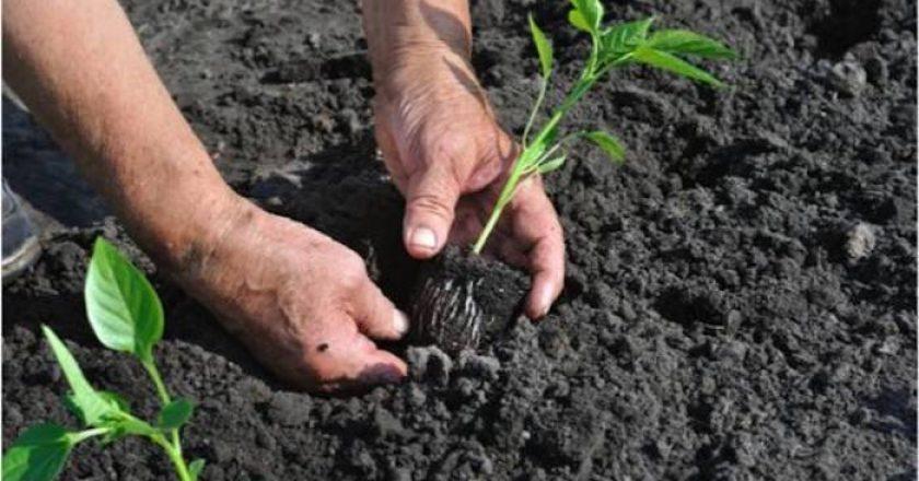 Faltarán fertilizantes. Se buscan alternativas al fosfato