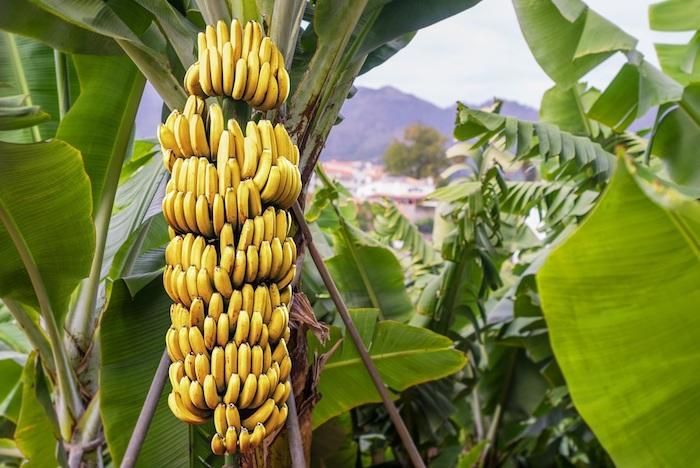 Los 10 mayores productores de plátanos del mundo