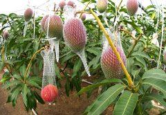 Mango, una súper fruta de mil variedades. Aquí están los 9 más vendidos