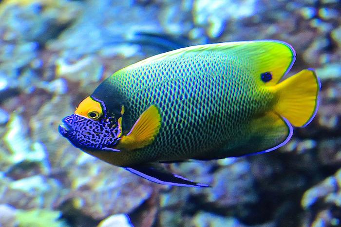 Los 10 peces (de acuario) más caros del mundo