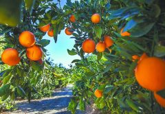 Los 9 países productores de naranjas más importantes
